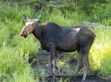 Moose, female. Image credit to Wikipedia